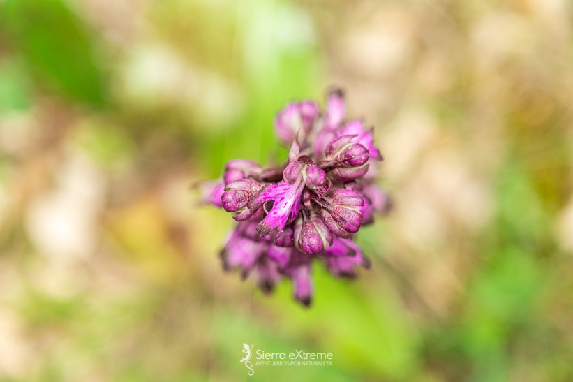 orquídeas en la sierra de aracena